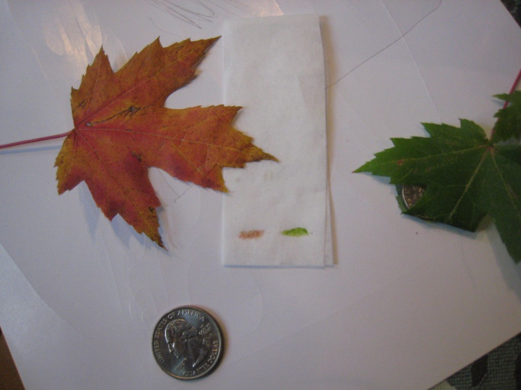 pigments in leaf chromatography Leaf chromatography experiment share leaves contain different pigments, which give them their color green chlorophyll is the most common type of pigment, but there are also carotenoids (yellow, orange) and anthocyanins (red) chlorophyll, which is essential for photosynthesis, usually hides the.