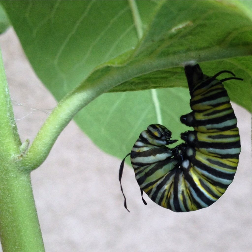 Monarch caterpillar preparing to form a chrysalis